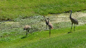wildlife in Carillon Lakes
